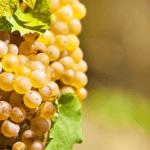 rijpe witte druiven aan de tros