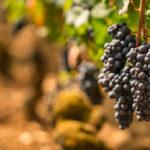 blauwe druiven aan de stok