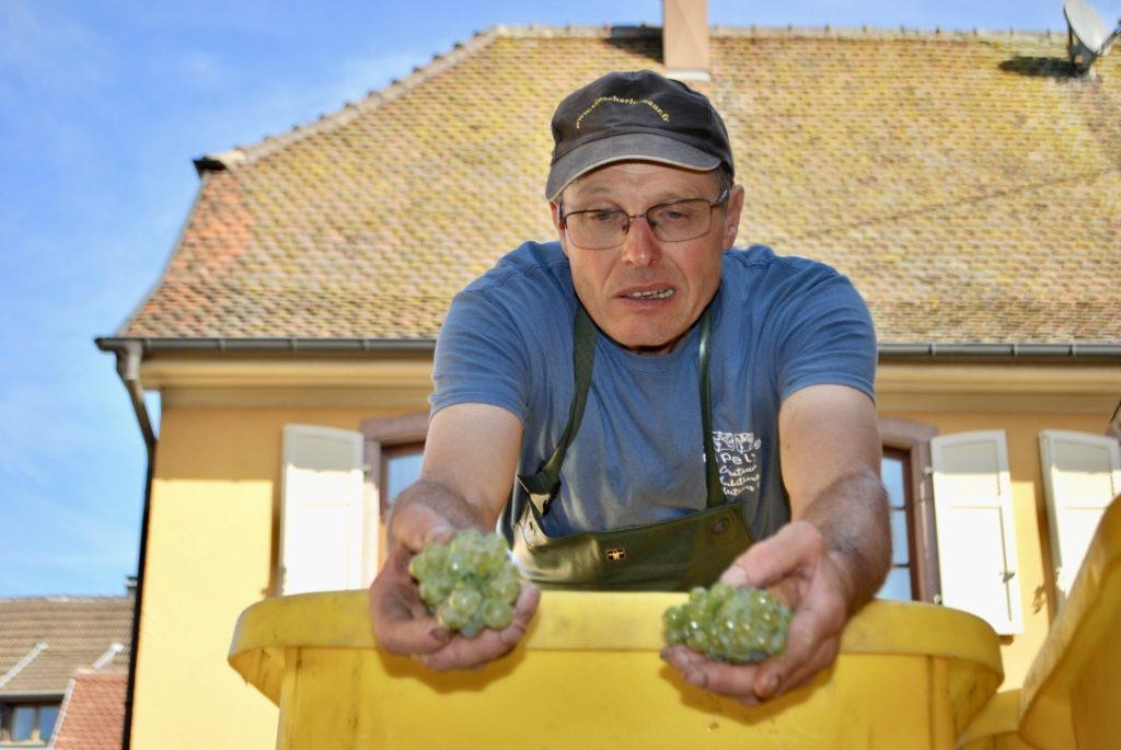 Armand Baur toont de rijpe druiven
