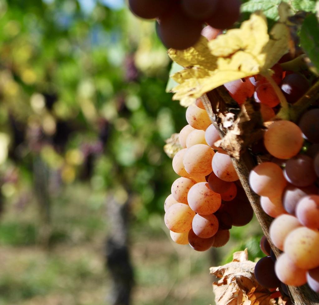 rijpe gewurztraminer druiven aan de wijnstok