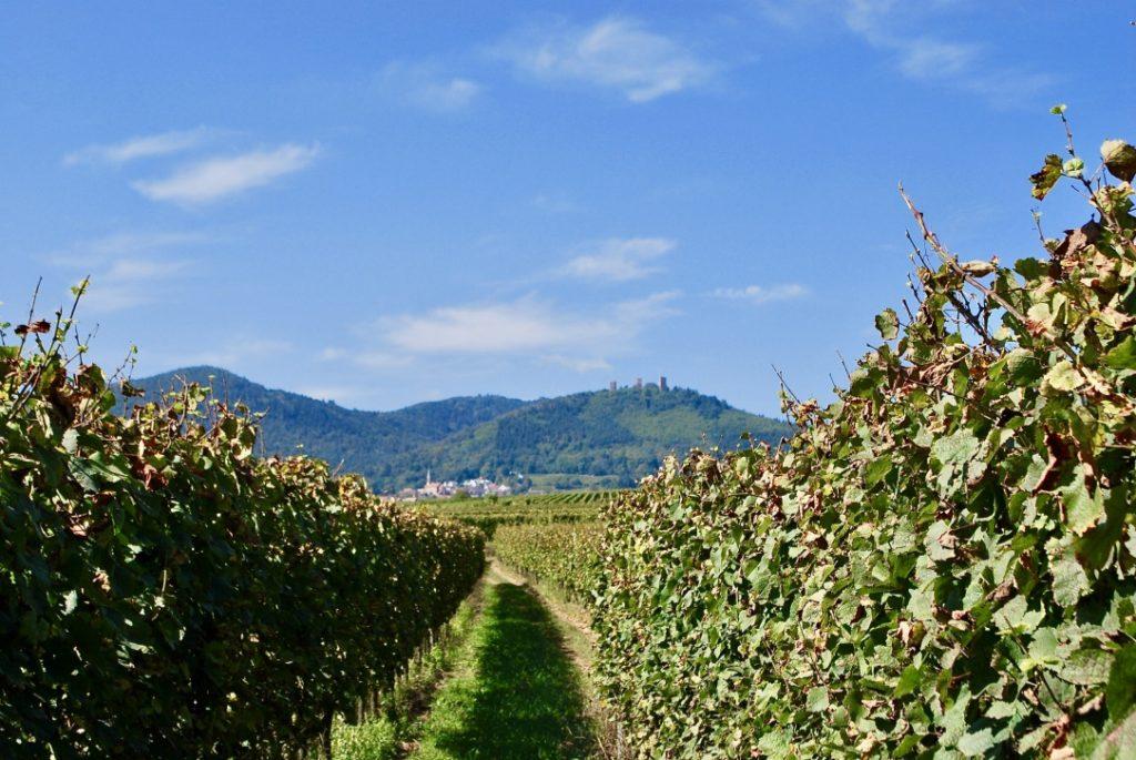 Wijngaard van Baur met uitzicht op de heuvels in de verte.