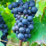 Pinot Noir druif aan de tros