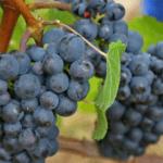 tros rijpe Pinot Noir druiven