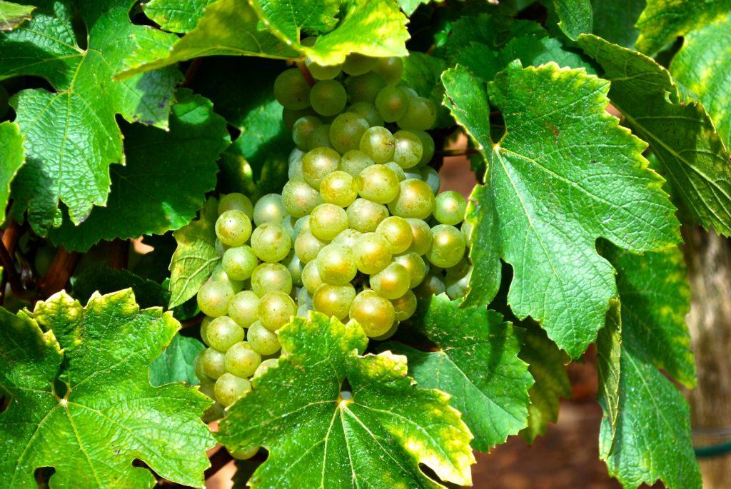 onrijpe chardonnay druiven