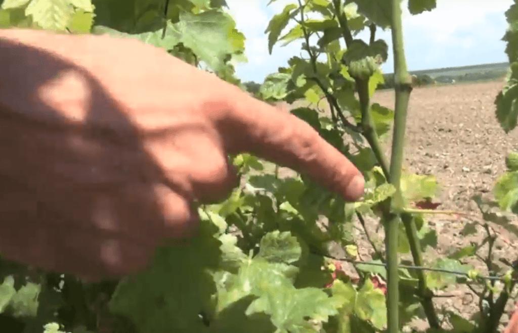 Vincent Leclair wijst iets aan in de wijngaard