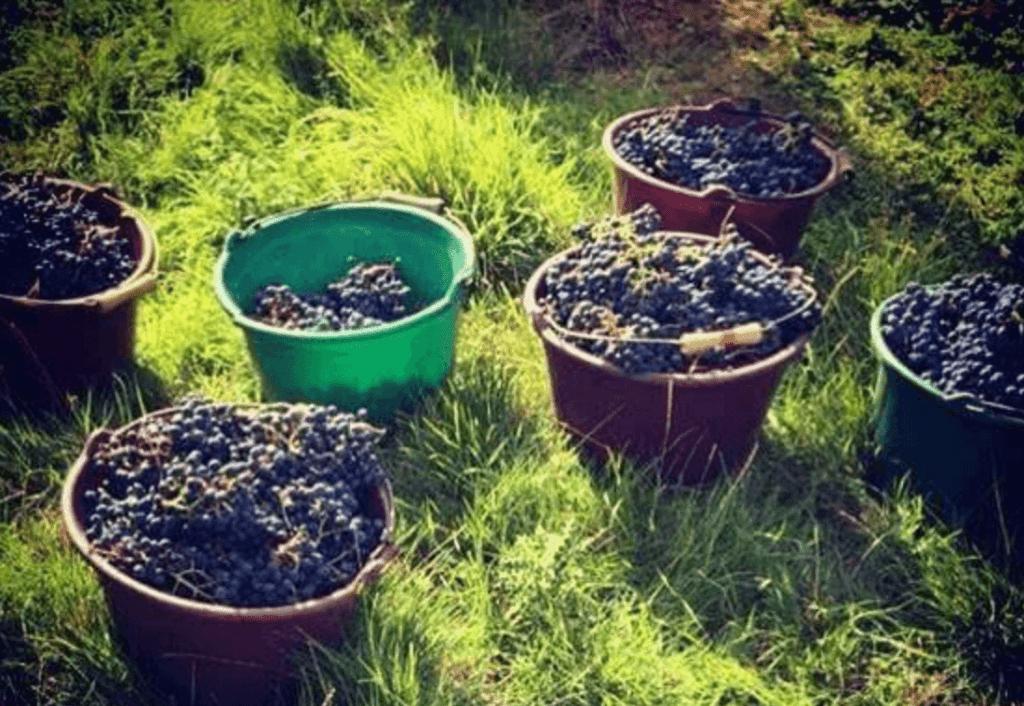 geoogste druiven in emmers
