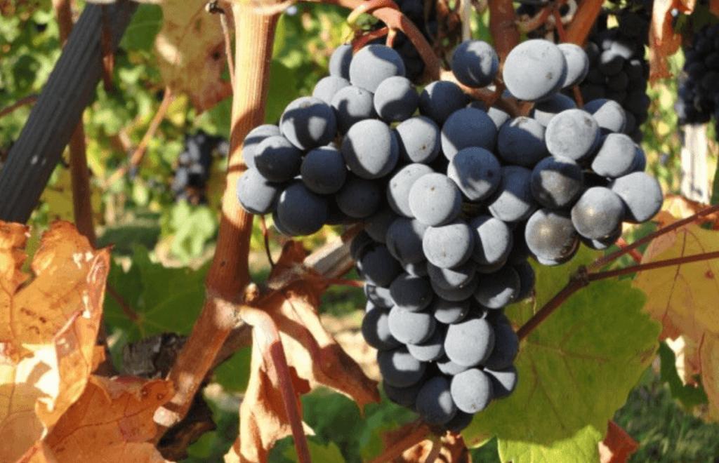 een tros rijpe blauwe druiven aan de wijnrank