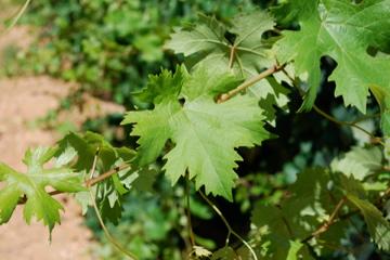 Wijnbladeren aan de tak