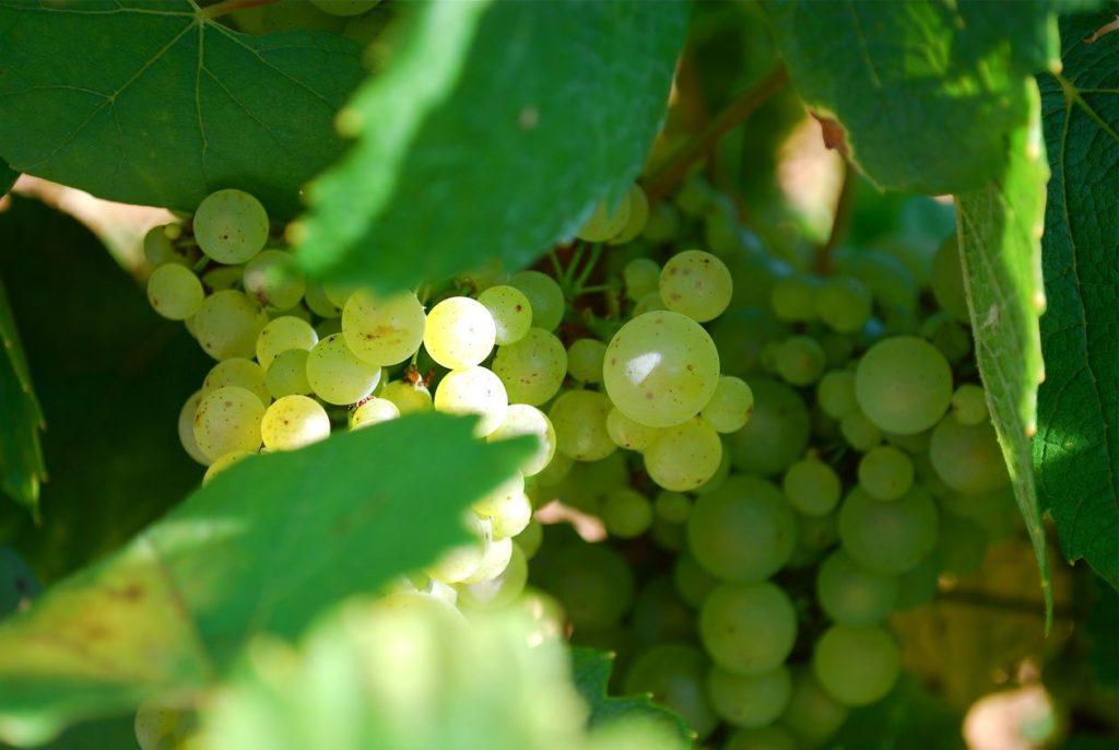 witte druiven met blad