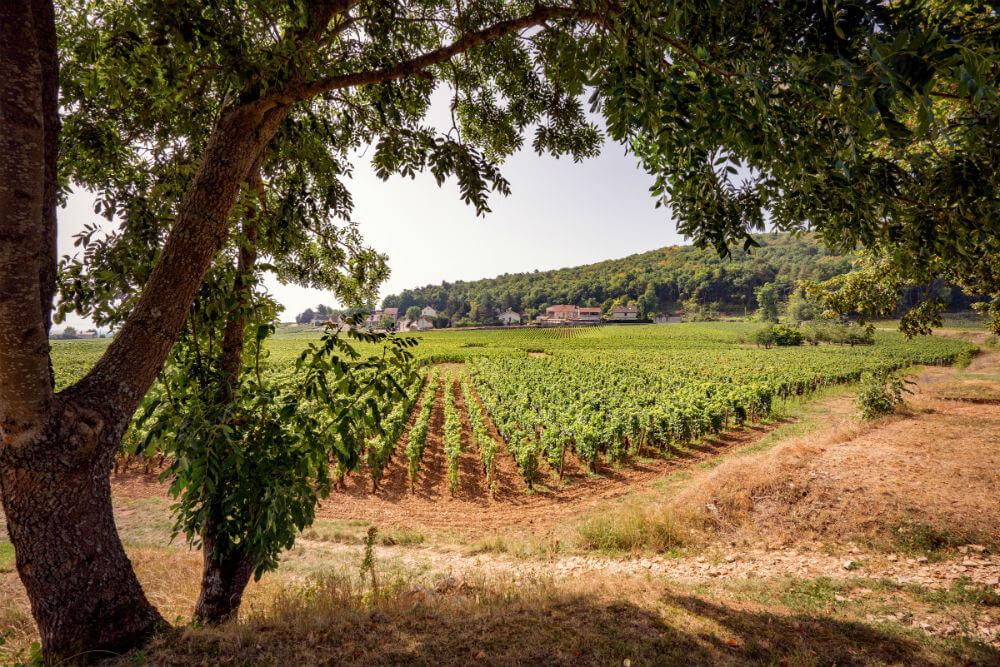 Een wijngaard in Gevrey Chambertin