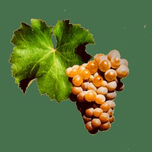 Sauvignon druif