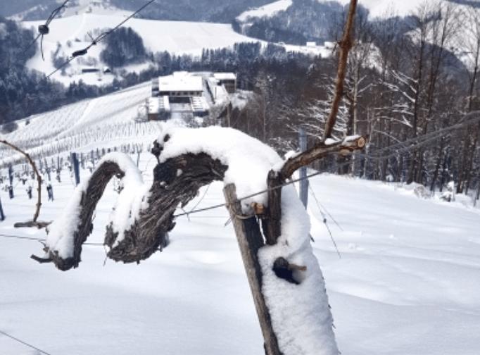 Kale wijnstok, bedekt met sneeuw