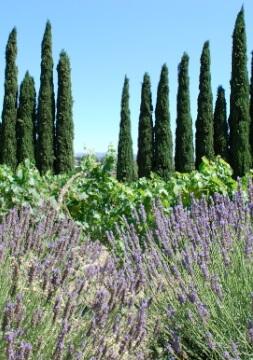 lavendel, wijnranken en cipressen