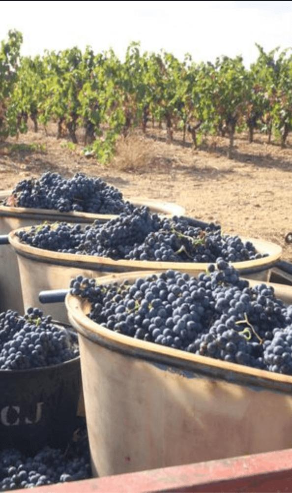 druivenoogst in emmers