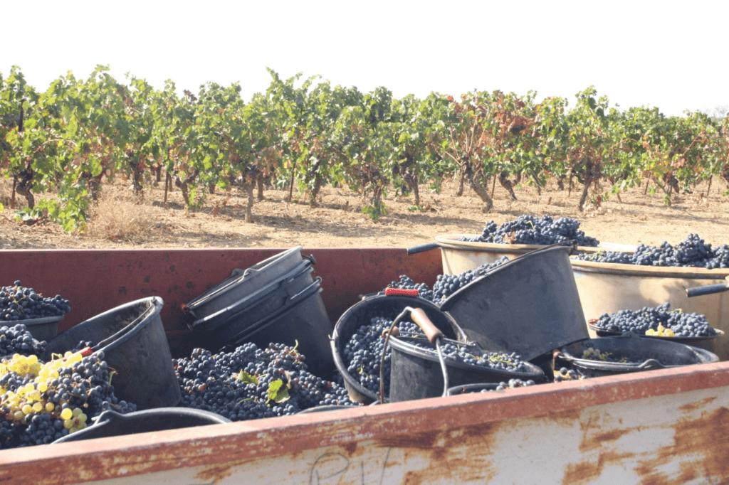 de druiven liggen nog in de oogstemmers in de laadbak