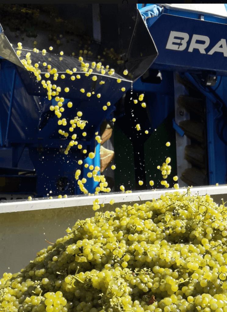 Het storten van druiven tijdens de oogst op domaine de Magord