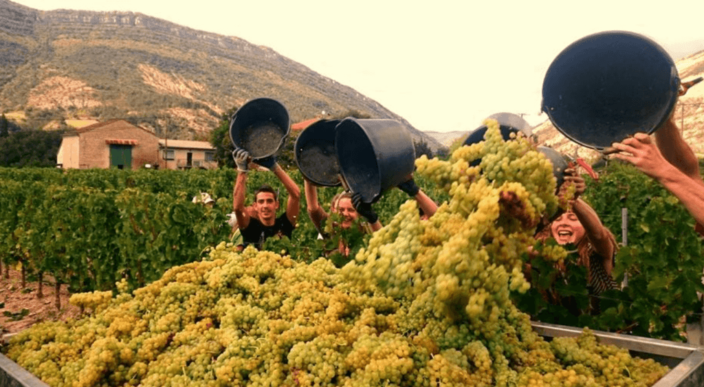 Het legen van volle emmers geoogste druiven in de aanhangwagen die de druiven naar de wijnmakerij brengt