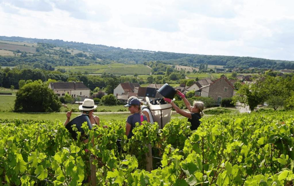 plukkers tijdens de oogst bij domaine Nicolas