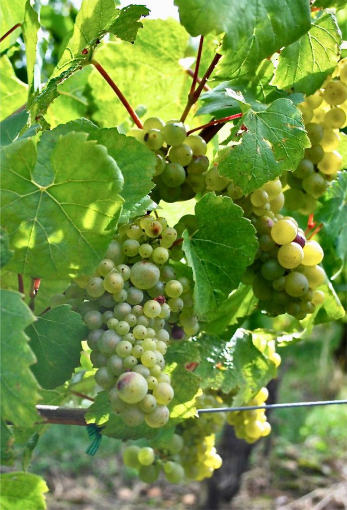 Chardonnay druiven aan de stok