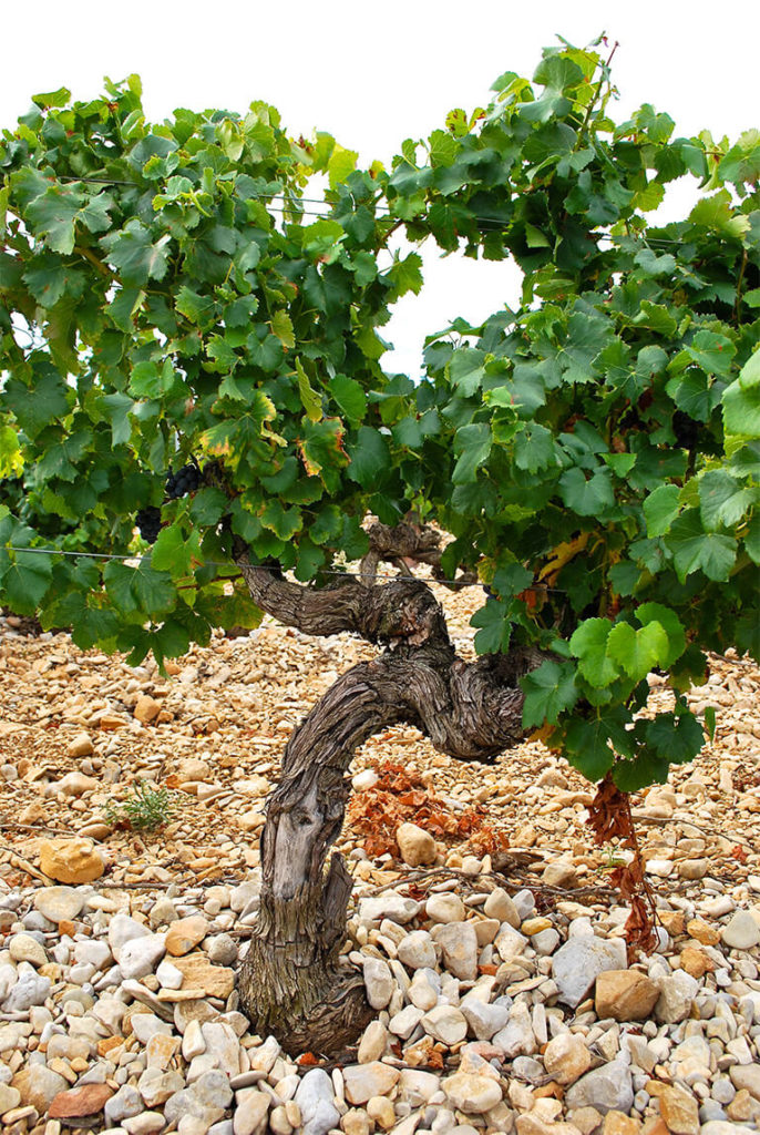 oude wijnstok bij Châteauneuf-du-Pape