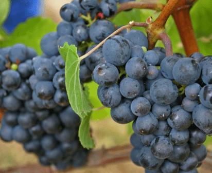 Volrijpe pinot noir druiven