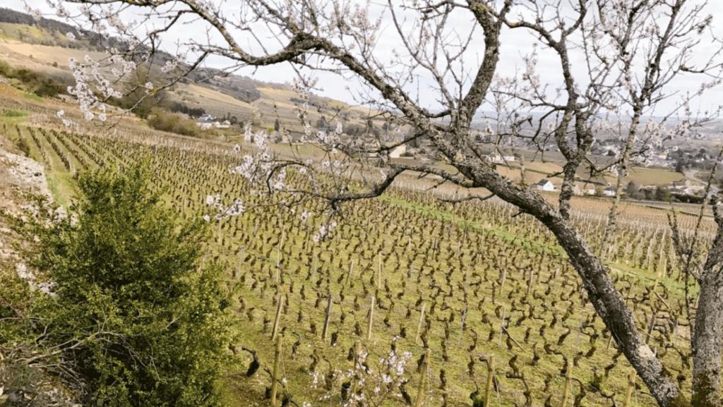 Santenay 1e Cru Wijngaard van domaine Nicolas