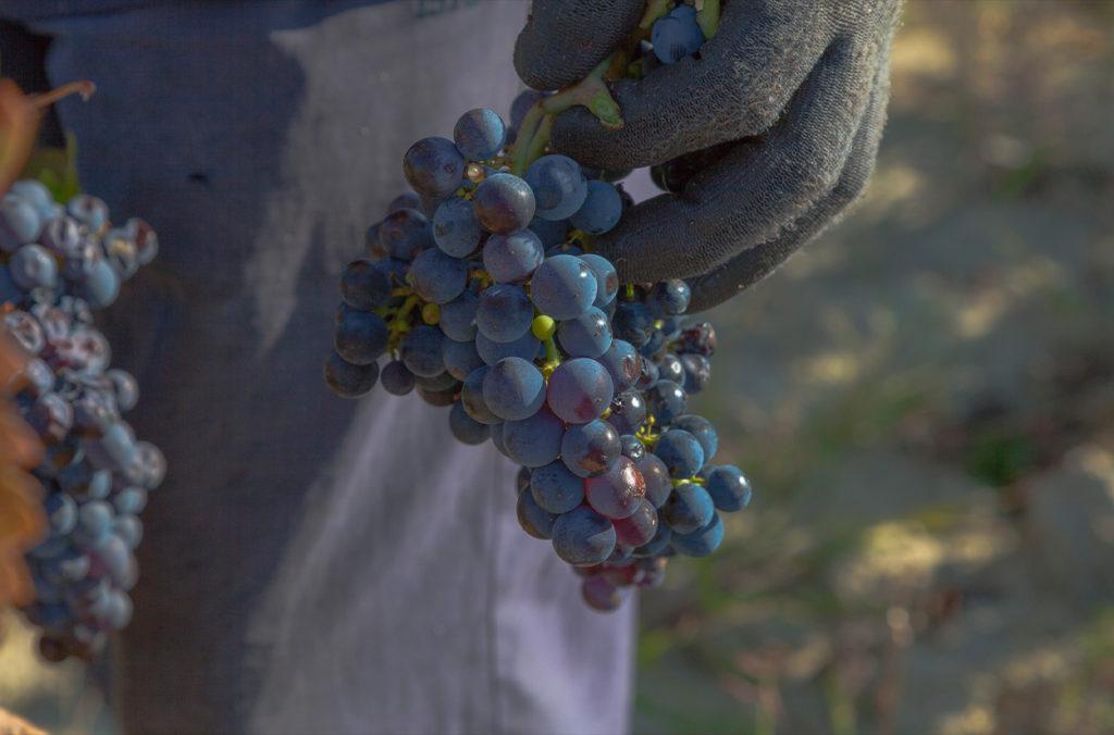 druivenplukker houd een trosje geoogste druiven vast