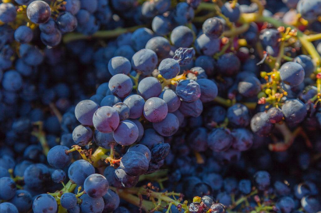 Rijpe blauwe druiven