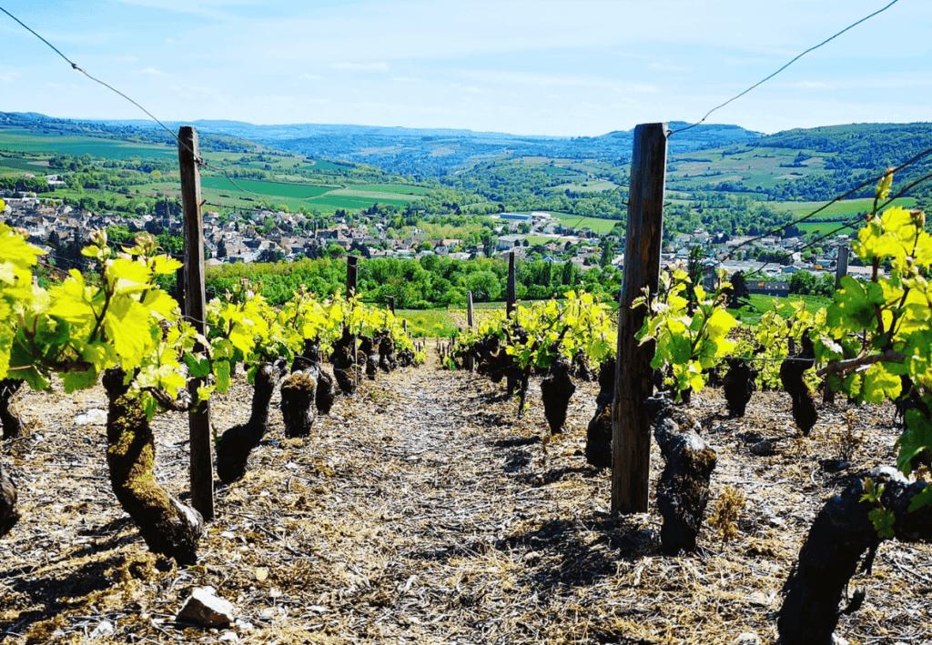 wijngaard domaine Nicolas