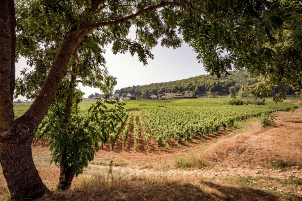 Wijngaard in de Bourgogne