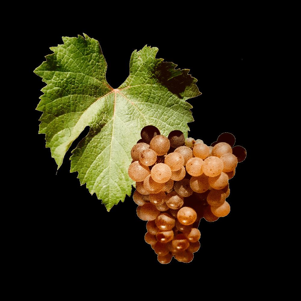 De Muscadelle druif