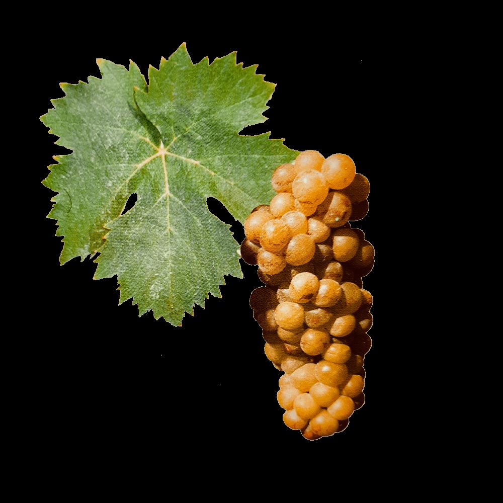 De Muscat à petit grains druif