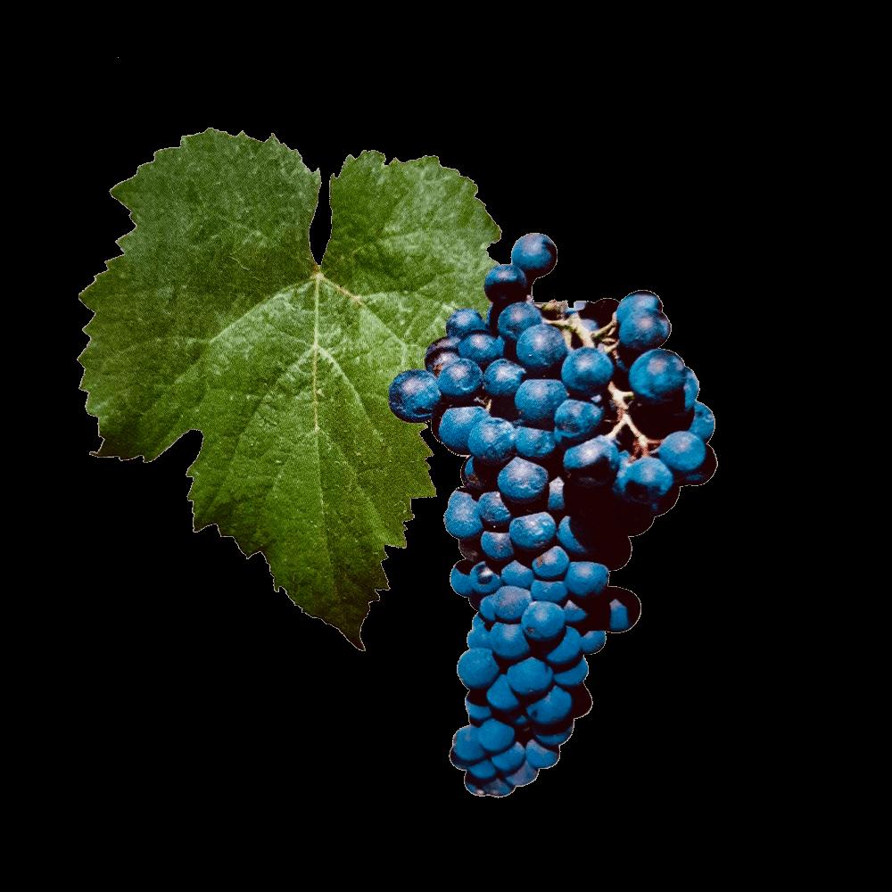 De Petit Verdot druif