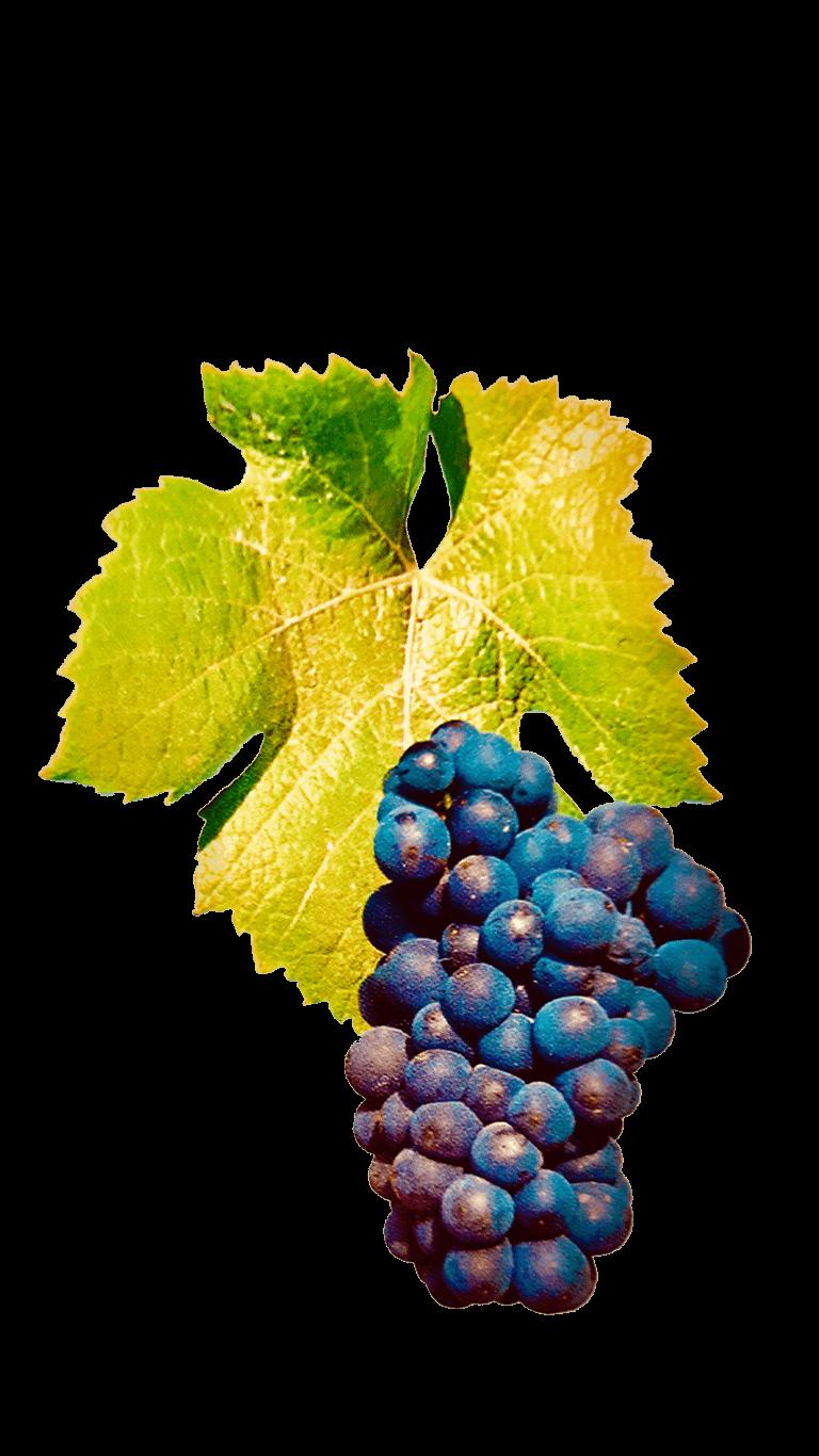 De Pinot Noir druif