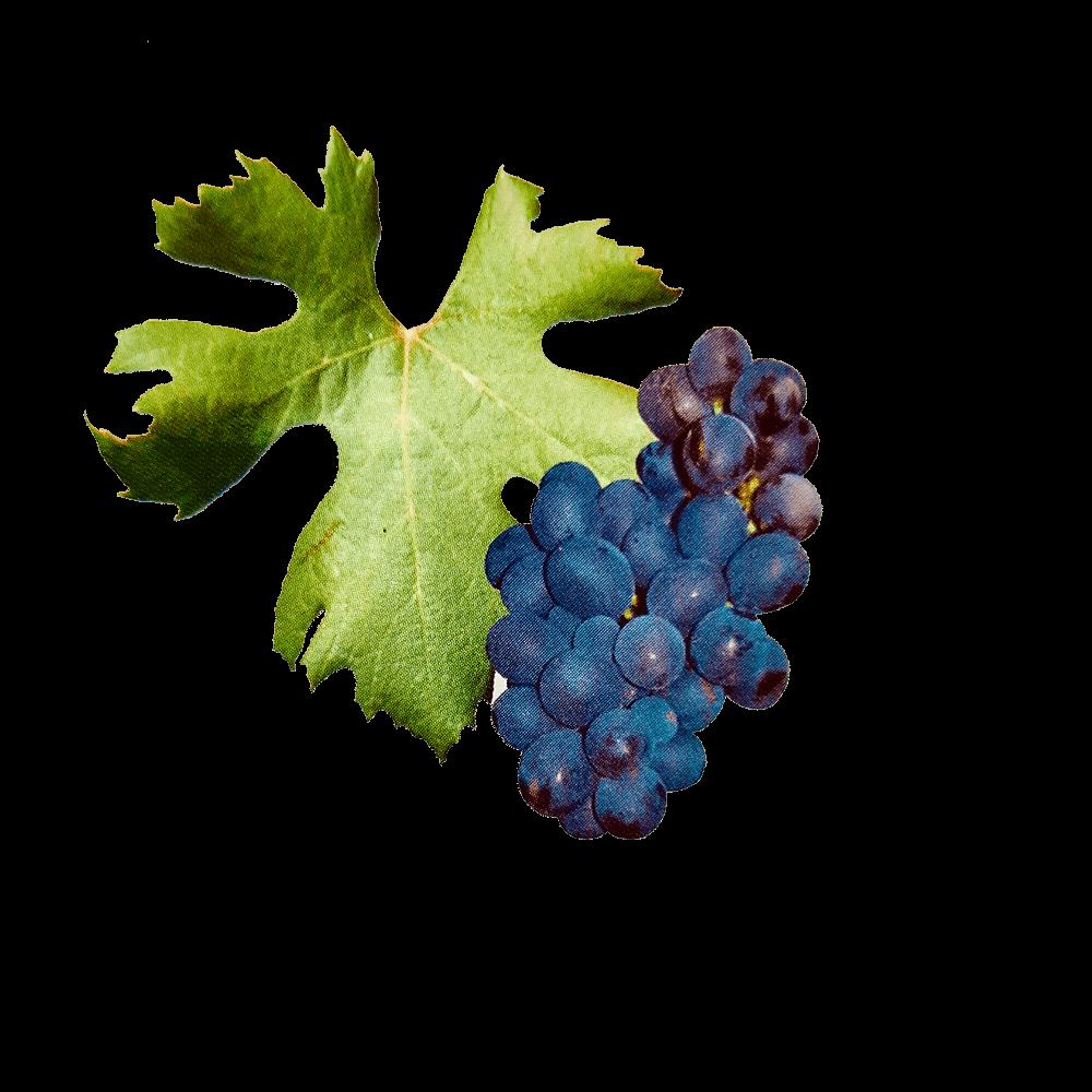 De Poulsard druif