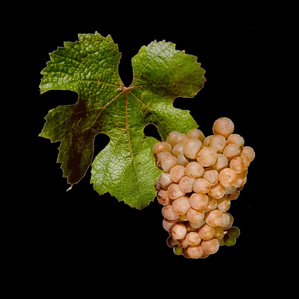 De Sacy druif