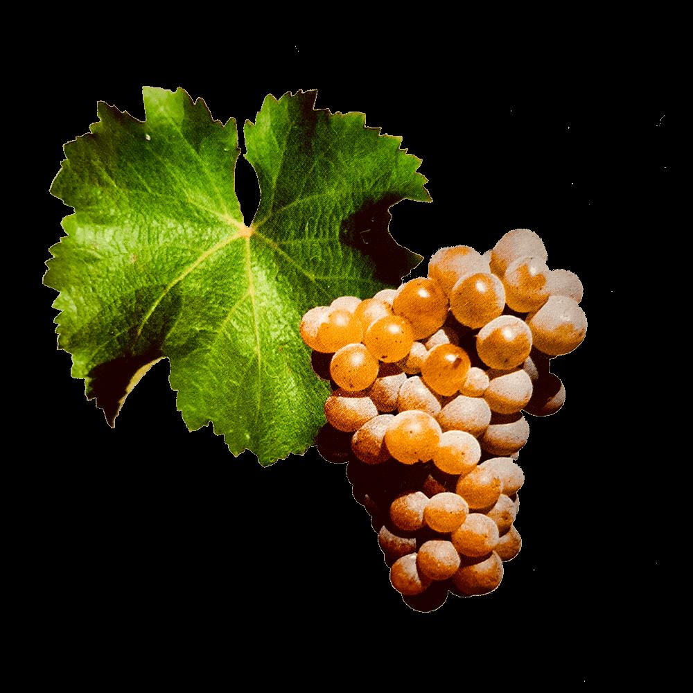 De Sauvignon druif