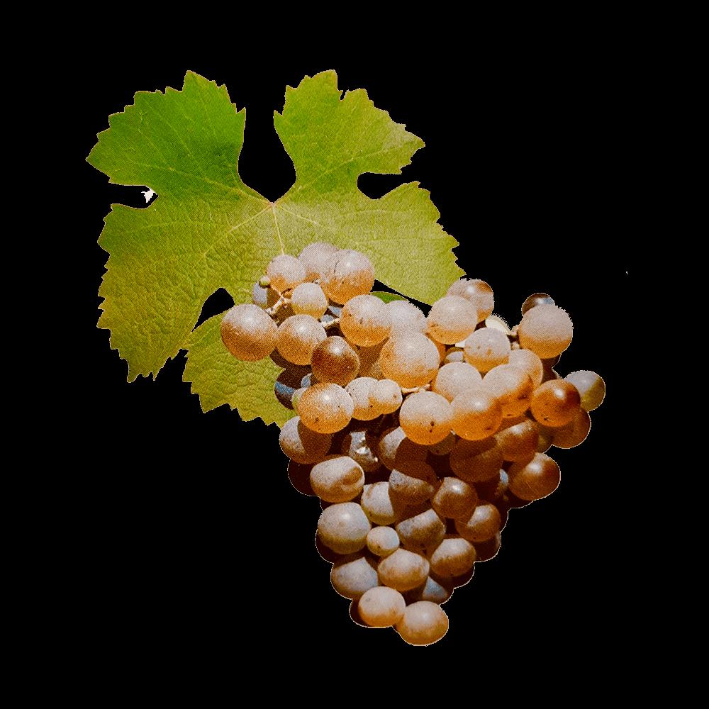 De Sémillon druif