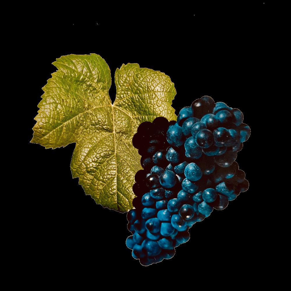 De Tannat druif