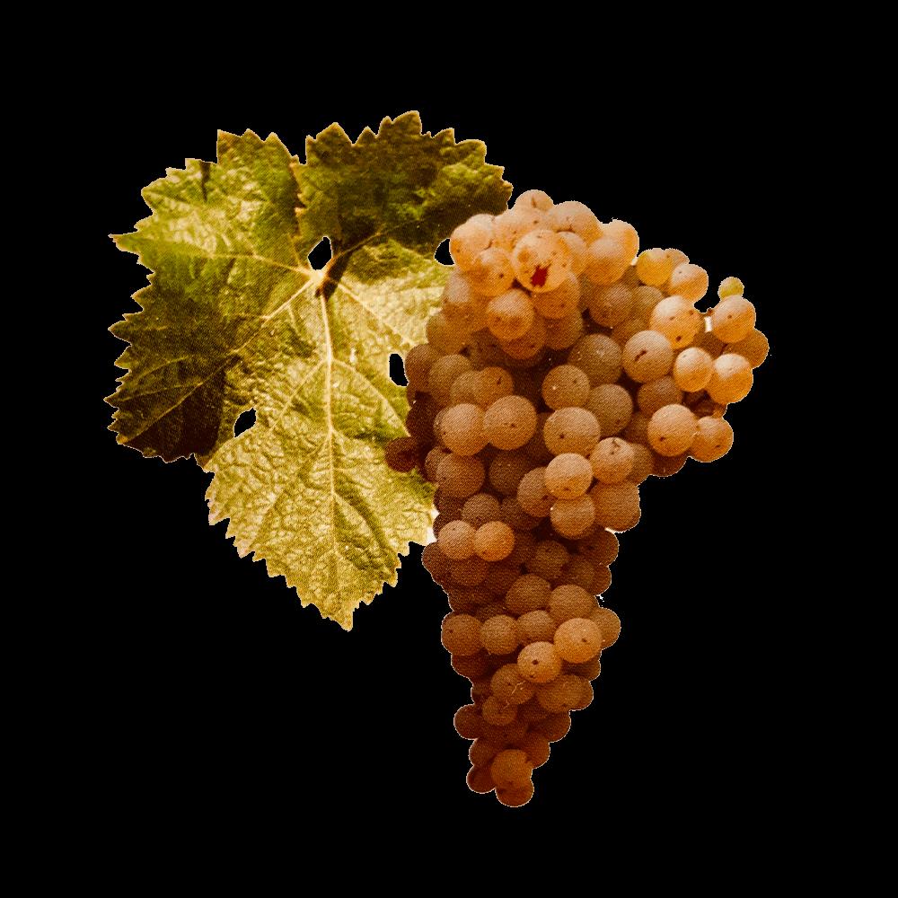 De Ugni Blanc druif