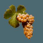 De Viognier druif