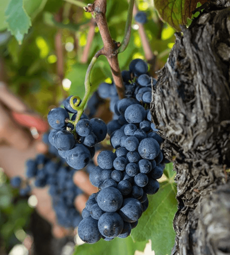 Rijpe blauwe druiven aan de tros, klaar om geoogst te worden.