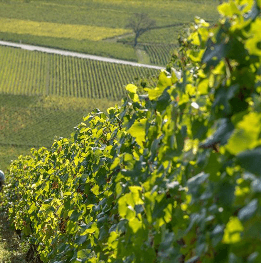 Wijnranken in de wijngaard van domaine Perrin